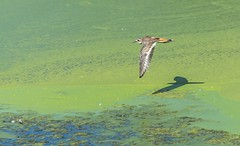 Semipalmated Plover (tkclip47) Tags: semipalmated plover pond water algae bird