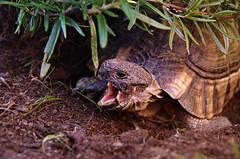 Hades. (Aviarios Elyon) Tags: animal mascota pet libertad amigo galicia vigo espaa spain pontevedra reptil tortuga hades nikond40