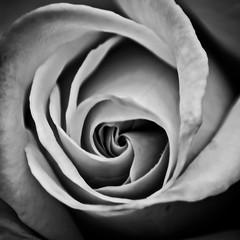 Floral spiral (Ignacio M. Jimnez) Tags: flor flower bw byn bn rosa rose macromondays flowersinblackwhite