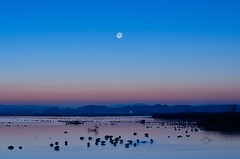 Float earthshine. (K16mix) Tags: japan izunuma miyagi kurihara moon earthshine lake water morning nature swan wildlife wildbird wildgoose whooperswan eaafp ramsarconvention autumn          lohas