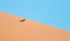 Willie Wagtail (chrissteeles) Tags: williewagtail bird birding birdsvilletrack outback southaustralia sa dune sanddune
