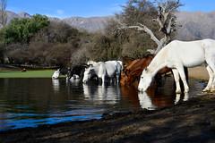 Sed (Dario Szklarek) Tags: horses horse san luis argentina caballo caballos campo agua naturaleza luz nikon