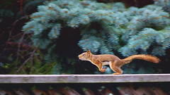 Red squirrel on the run (elenashen5) Tags: red squirrel animal run