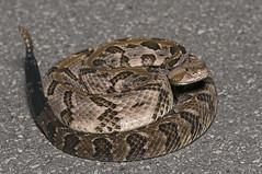 Timber Rattlesnake (cre8foru2009) Tags: crotalushorridus timberrattlesnake rattlesnake venomous snake reptile herping