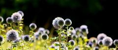 Lollipop, Lollipop (acwills2014) Tags: flowers macroflowers lightandshade bokeh black