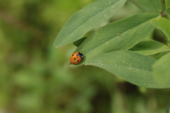 Coccinella (xaly87x) Tags: ladybug insect nature walking woods field luckycharm orange