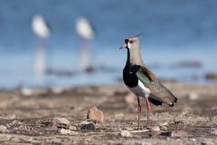 Tero Comn - Vanellus chilensis - Southern Lapwing (Jorge Schlemmer) Tags: terocomn vanelluschilensis southernlapwing miramar crdoba argentina birdwatcher