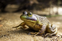The Goofy Frog. ( SNAPShots  by: Patrick J.Whitfield) Tags: animals golden summer yellow sun orange macro frogs outside amphibians red frog nature wildlife old
