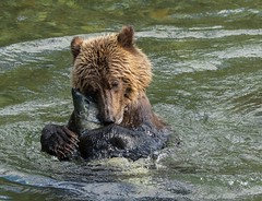 Bear Hug (T0nyJ0yce) Tags: wild grizzlybear brownbear ursusarctoshorribilis salmonrun bear hugging fish animals grizzly salmon fishing westcoast cute adorable wildlife britishcolumbia explore