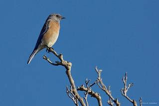 Western Bluebird, Huntington Beach Park, CAL CQ4A9744