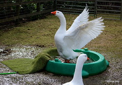 Getting in a Goosey flap (mootzie) Tags: park orange white beak feathers goose hose aberdeen bathing flapping wingspan hazelhead