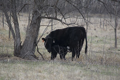 Newborn (StBrigidofOz) Tags: cow cross angus cleaning newborn hereford calf