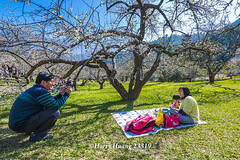 Harry_23319,,,,,,,,,,,,,,,,,,,,,,,,Plum,Plum Tree,Tree,Fruit,Farm (HarryTaiwan) Tags: tree fruit nikon farm plum taiwan      plumtree  d800                       harryhuang  hgf78354ms35hinetnet adobergb