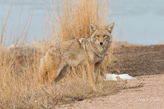 Watchful female Coyote