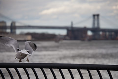 Smell Ya' Later (adrianmojica) Tags: city nyc newyorkcity bridge blue winter sky urban usa cloud ny newyork color bird animals architecture brooklyn clouds canon river photography eos photo day cityscape unitedstates photos seagull telephoto eastriver 5d williamsburgbridge canonef70300mmf4556doisusm canoneos5dmarkii 5dmarkii 5dmkii canon5dmarkiii