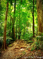 Nature's trail... (Kaushik.N.Rao) Tags: trees india nature forest diversity greenery species karnataka dense 2015 kudlufalls