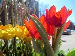 Sunshiny Day (Georgie_grrl) Tags: flowers friends toronto ontario cheery tulips bright photographers social colourful kensingtonmarket outing torontophotowalks canonpowershotelph330hs mynewdarkpinkside topwksd