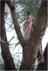 Hooters - Papa Owl (thirdeyeguy) Tags: usa nature illinois midwest wildlife great hooters il owl batavia preserve raptors birdsofprey greathornedowl horned owlet fabyan
