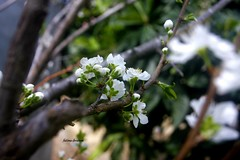 #Peach_Flower  #Nature  #Spring  #Trees  #Trees  #Nablus  #sun  #Day  #nice  #Sky #Palestine  #Green  #Garden (fatima ♥♥) Tags: trees sky sun green nature garden spring nice day palestine nablus peachflower