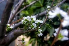 #Peach_Flower  #Nature  #Spring  #Trees  #Trees  #Nablus  #sun  #Day  #nice  #Sky #Palestine  #Green  #Garden (fatima ) Tags: trees sky sun green nature garden spring nice day palestine nablus peachflower