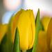 Närbild på påsk-tulpan