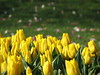 IMG_5975 (Gökmen Kımırtı) Tags: tulips tulip 2014 emirgan laleler