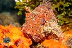 Red Scorpion Fish (ShaunMYeo) Tags: scubadiving gibraltar sevensisters calpe underwaterphotography  gibilterra ikelite      gibraltr  cebelitark gjibraltar ibraltaro hibraltar xibraltar giobrltar gibraltrs gibraltaras ibilt