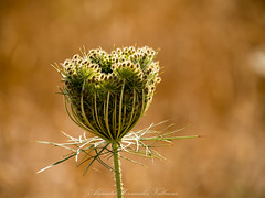 Wild carrot in fruiting stage. (Alejandro Hernández Valbuena) Tags: park morning wild summer flower green nature beautiful beauty grass garden outside outdoors spring weed shiny soft natural bright blossom bokeh lace background lawn meadow sunny fresh carrot bloom delicate freshness