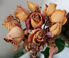 dying roses (lisafree54) Tags: roses plant nature rose dead sad free dried dying decayed decaying cco freephotos