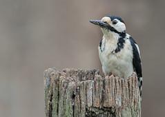 Great Spotted Woodpecker (ToriAndrewsPhotography) Tags: great spotted woodpecker photography andrews tori