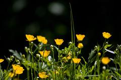 ckuchem-1492 (christine_kuchem) Tags: blumen ranunculus gelb garten frhling naturgarten hahnenfus privatgarten