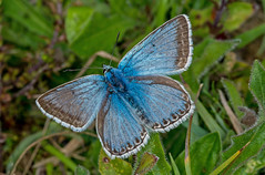 DSC2041  Chalkhill Blue.. (jefflack Wildlife&Nature) Tags: chalkhillblue butterflies butterfly lepidoptera insects insect macro glades countryside grasslands heathland moorland nature