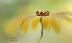 Cape Daisy (Jane Dibnah Botanical Art) Tags: capedaisy osteosperum flora floralart creativephotography beautyinnature yellow macrophotography closeup selectivefocus nature flower