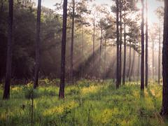 Flooding My Soul (TuthFaree) Tags: elements sunshine sunrays sunbeams pines swga georgia ga morning