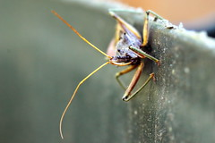 the bug on the waste bin (alden0249) Tags: australianwildlife insects macro nature