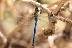 Anax empereur. (MrlneG) Tags: anax empereur libellule odonate demoiselle insecte tenerife