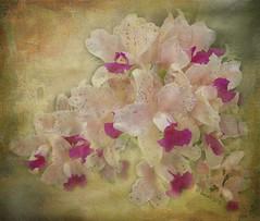 Light in Nature creates the movement of colors (Robert Delaunay) (boeckli) Tags: flowers plants painterly nature purple orchids blossom natur blossoms pflanzen blumen lila textures bloom blten orchideen texturen gemalt robertdelauney eln netartii crisbuscaglialenz