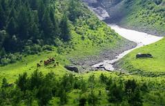 Vaches prs d'un nv aux Chapieux (yoduc73) Tags: montagne alpes neige vaches tarentaise tarine nv