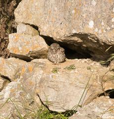 Little Owl (chitsngiggles) Tags: portlandbill nature photography wildlife owl littleowl owlet