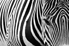 #PicOfTheDay Zebra in the foreground (Candidman) Tags: zebra foreground stripes black white animals quadruped
