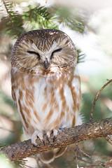Sleep Tight (ardvorak79) Tags: northernsawwhetowl sawwhetowl owl aegoliusacadicus