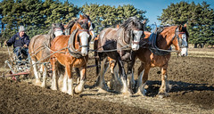 Clydesdales (furbs01 Thanks for 3,850,000 + views) Tags: horsepower canon7d 70200mm horse ploughing farm work dirt