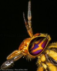 IMG_4856-1-1 (Pascal Guay) Tags: chrysops insect insects macro fly closeup close up compound eyes colorful bite biting sucking tabanidae splayed deer head antenna antennae bug bugs yellow purple orange pascal guay pascalnet pascalnetnet t2i 550 550d canon super