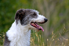 Badger - Dipper Spotting !! (Mid Glam Sam1) Tags: lurcher badger countryside sighthound companion pet birdwatching explore explored