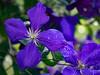 Clematis (rainerralph) Tags: omdem1 bokeh clematis flowers inmygarden objektiv4015028pro flower garten blume outdoor omdem5markii garden inmeinemgarten blumen