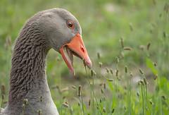Oca...provenzale :) (marypink) Tags: oca goose details closeup bird bokeh provenza francia nikond7200 nikkor80400mmf4556