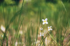 The Little Things (AlisAquilae) Tags: meadow wild flowers tiny delicate perfume simple beautiful nature walks canon canont1i