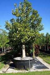 Adansonia digitata (TreeWorld Wholesale) Tags: adansonia digitata baobab tree