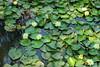 IMG_9114 (猜测) Tags: 北京 海淀区 圆明园 莲池 莲花