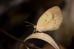 Eurema elathea elathea (Rodrigo Conte) Tags: euremaelatheaelathea eurema elathea euremaelathea pieridae coliadinae euremini butterfly borboleta insect inseto insecta brasil brazil brasilia brasilemimagens buzznbugz fantasticnature